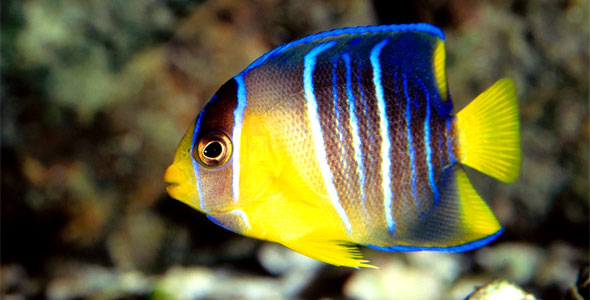 Angelfish fish breeds information and pictures of for Where to buy saltwater fish