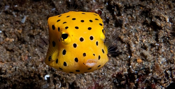 Boxfish fish breeds information and pictures of for Aggressive saltwater fish