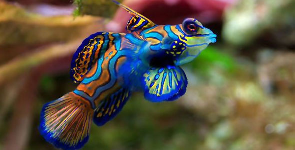 Dragonet - Fish Breeds - Information and pictures of ...