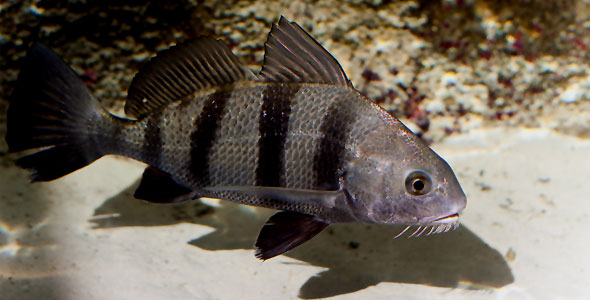 Drums Fish Breeds Information And Pictures Of
