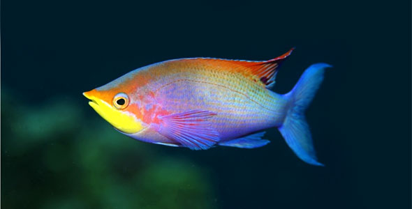 Rainbowfish fish breeds information and pictures of for Rainbow fish species