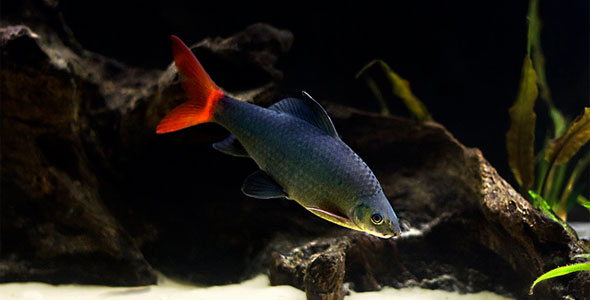 freshwater aquarium fish that look like sharks 2017 - Fish ...